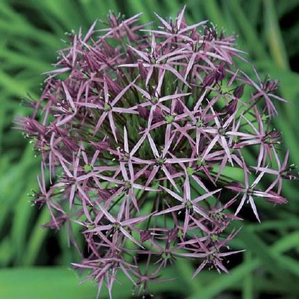 Allium 'Christophii' - 3ltr