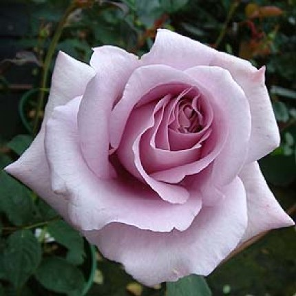 Blue Moon Hybrid Tea Rose - 5.5 Litre