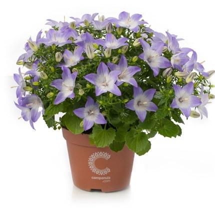 Campanula isophylla berlin - P11 Pot