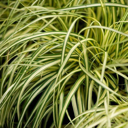 Carex oshimensis 'Evergold' | Japanese Sedge