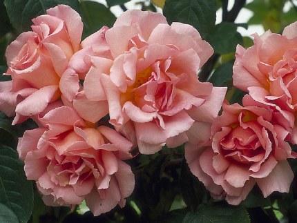 Compassion Climbing Rose - 3 Litre