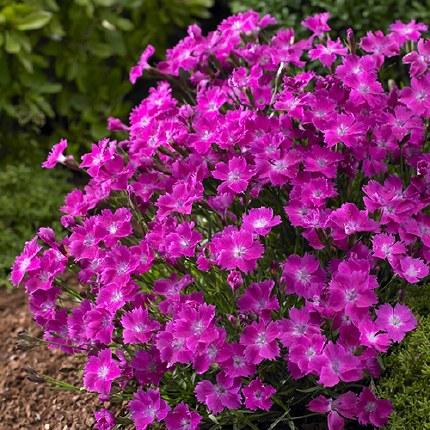 Dianthus Kahori 9cm