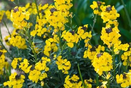 Erysimum Canaries Yellow Alpine in 9cm Pot