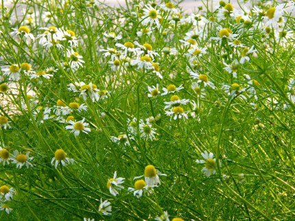 Herb Chamomile Lawn