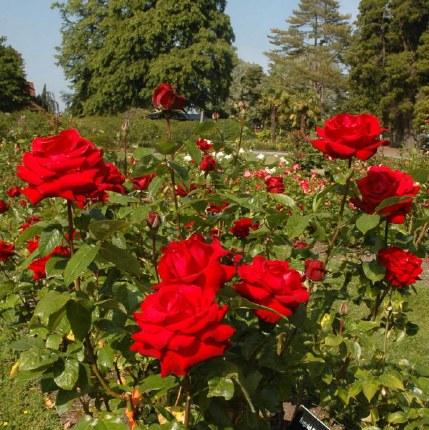 Ingrid Bergman Standard Rose - 9.5 Litre