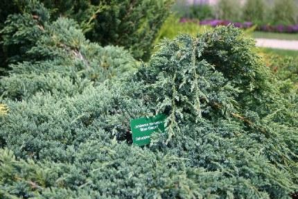 Juniperus squamata Blue Carpet 2 Litre