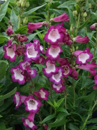 Penstemon Polaris Purple 2L
