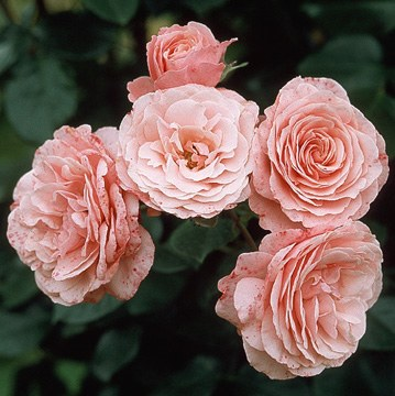 Sexy Rexy - Standard Rose