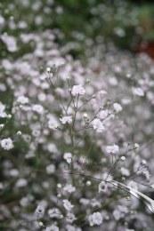 Gypsophila paniculata White Festival