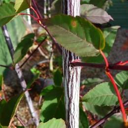 Acer davidii 'Serpentine' - Snake Bark Maple
