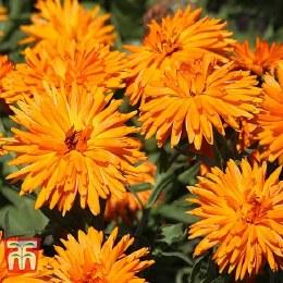 Calendula Calexis Orange