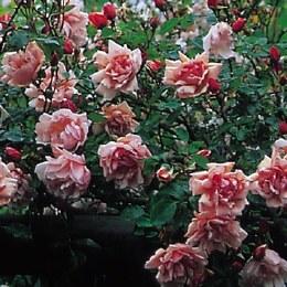 Alberine Climbing Rose - 3 Litre