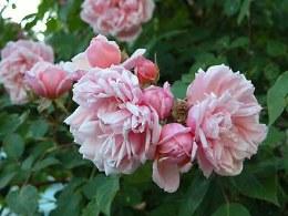 Albertine Climbing Rose - 4.5 Litre on Trellis