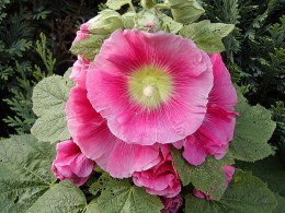 Hollyhock | Alcea rosea Rose