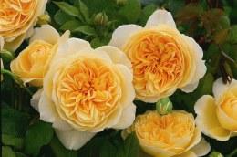 Amber Queen Floribunda Rose - 4.5 Litre