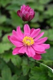 Anemone x h. 'Pamina' | Japanese Anemone