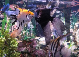Angelfish Assorted - Small