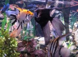 Angelfish Assorted - Small