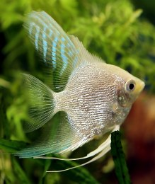 Angelfish Platinum