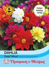 Dahlia Dwarf Mix