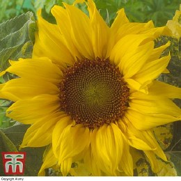 Sunflower Sunspot