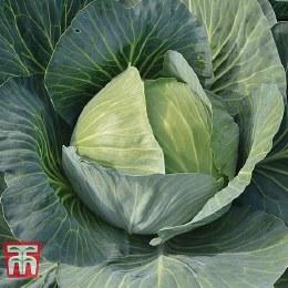 Cabbage Gilson
