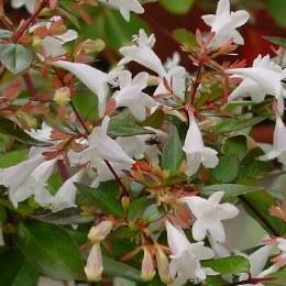 Abelia grandiflora Little Lady 7.5L