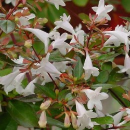 Abelia grandiflora Little Lady P13