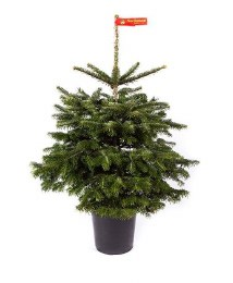 Potted Real Christmas Tree - Nordman Fir - Abies nordmanniana 80-100cm