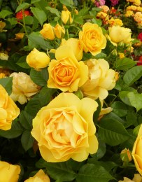 Absolutely Fabulous Floribunda Rose - 3 Litre
