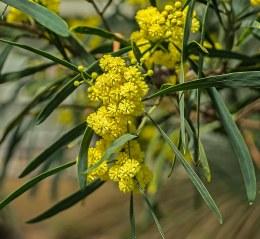 Acacia Retionoides