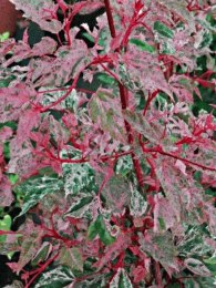 Acer Conspicuum 'Red Flamingo' 120-150cm 7.5L