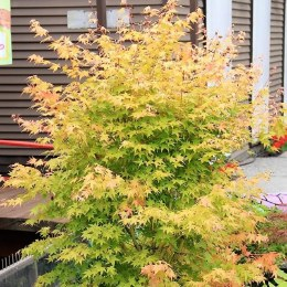Acer Palmatum Bi-Hoo - Japanese Maple Bi-Hoo