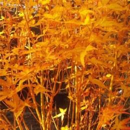 Acer palmatum 'Bi- Ho' - Japanese Maple 7.5Ltr