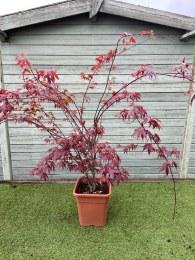 Acer Palmatum Bloodgood 140-160cm Tall