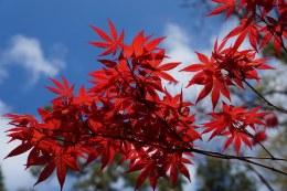 Acer Palmatum Bloodgood 80-100cm