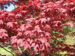 Acer Palmatum Bloodgood C7.5