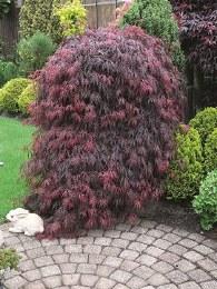 Acer palmatum Dissectum 50-60cm Tall