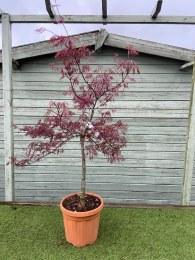 Acer Palmatum Dissectum Inaba Shidare 125-155cm