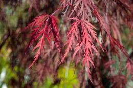 Acer Palmatum Dissectum Inaba Shidare