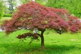 Acer Palmatum Garnet 50-60cm