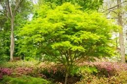 Acer Palmatum Seiryu C7.5