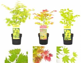 Acer Shirasawanum mix 3 Litre