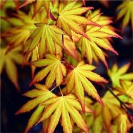 Acer palmatum 'Katsura' - Japanese Maple 3 Litre