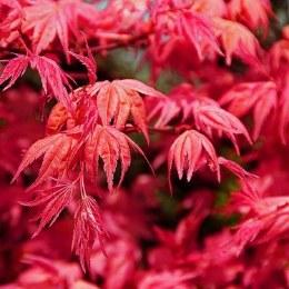 Acer palmatum 'Beni-maiko' - Japanese maple