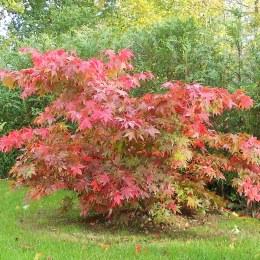 Acer palmatum 'Osakazuki' 60-80cm