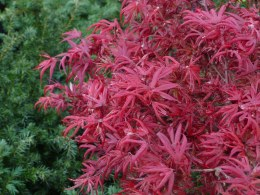 Acer palmatum 'Shaina' 40cm Tall - Japanese Maple