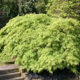 Acer palmatum Dissectum - Japanese Maple C15