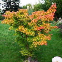 Acer palmatum Orange Dream 50cm Tall - Japanese Maple