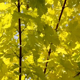 Acer platanoides 'Princeton Gold' -  Norway Maple